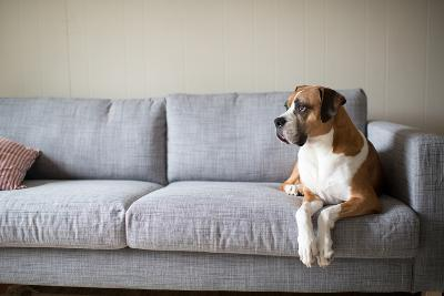 Boxer Mix Dog Laying on Gray Sofa at Home Looking in Window-Anna Hoychuk-Photographic Print