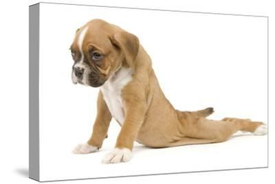 Boxer Puppy in Studio Sitting with Back