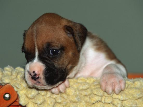 Boxer Puppy, USA-Lynn M^ Stone-Photographic Print