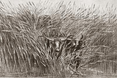 Boy Leading Water Buffalo Through Tall Grass in South Africa, from 'L'Univers Illustré', 1866--Giclee Print