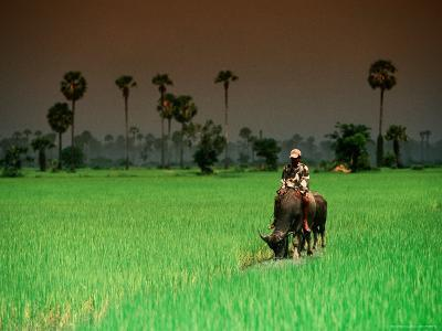 Boy on Buffalo in Rice Field-Antony Giblin-Photographic Print