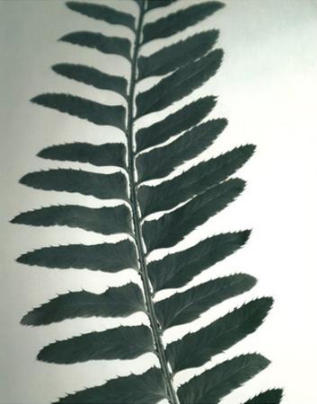 Fern Detail I