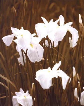 Spring Blossoms I