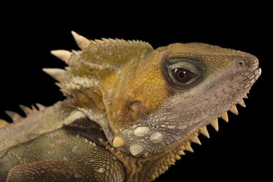 Boyd's Forest Dragon, Hypsilurus Boydii, at the Wild Life Sydney Zoo-Joel Sartore-Photographic Print