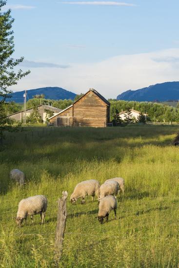 Bozeman, Montana, View of Sheep and Barn in Beautiful Green Fields-Bill Bachmann-Photographic Print