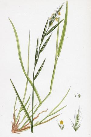 https://imgc.artprintimages.com/img/print/brachypodium-sylvaticum-wood-false-brome-grass_u-l-pvfaze0.jpg?p=0