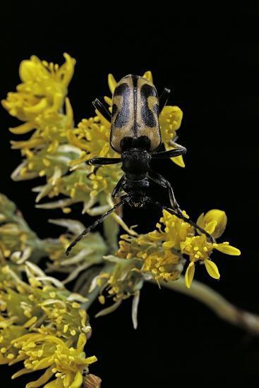 Brachyta Interrogationis (Long-Horned Beetle)-Paul Starosta-Photographic Print