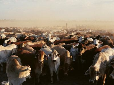 Brahman Cattle are Herded into a Pen on a Simpson Desert Cattle Station-Medford Taylor-Photographic Print