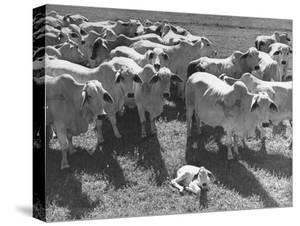 Brahmin Cattle