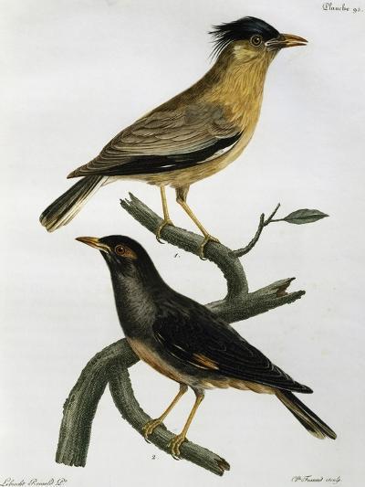 Brahminy Starling (Sturnus Pagodarum) And--Giclee Print