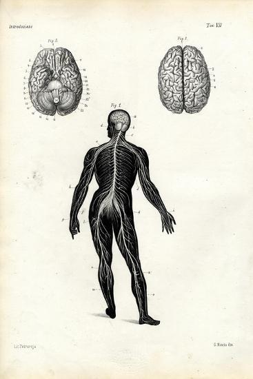 Brain, 1863-79-Raimundo Petraroja-Giclee Print