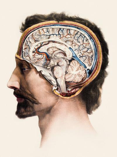 Brain Anatomy-Mehau Kulyk-Photographic Print
