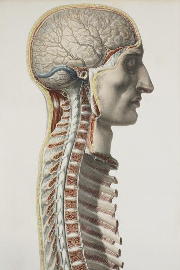 Brain And Spinal Cord, 1844 Artwork-Science Photo Library-Photographic Print