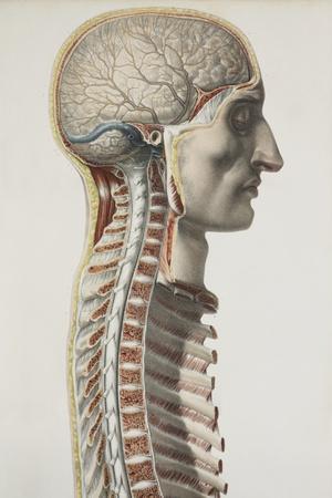 https://imgc.artprintimages.com/img/print/brain-and-spinal-cord-1844-artwork_u-l-pzh9bk0.jpg?p=0