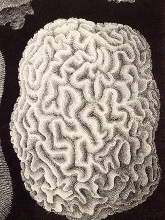 https://imgc.artprintimages.com/img/print/brain-coral-artwork_u-l-pzgqkv0.jpg?p=0