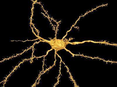Brain Neuron-Thomas Deerinck-Photographic Print