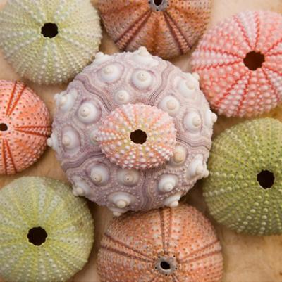 Sea Urchin Group