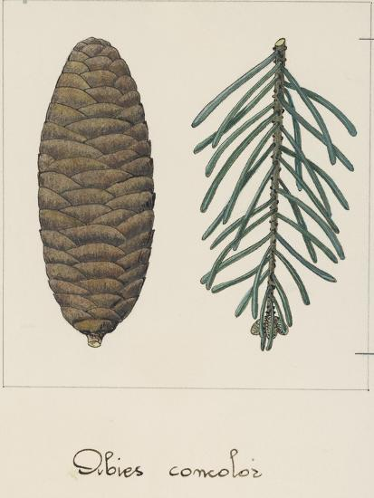 Branch and Pine Cone of White Fir (Abies Concolour), Pineceae--Giclee Print