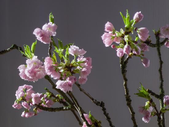 Branch of Cherry Blossoms in Front of Grey Background-C. Nidhoff-Lang-Photographic Print
