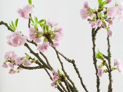 https://imgc.artprintimages.com/img/print/branch-of-cherry-blossoms_u-l-q11yu770.jpg?p=0