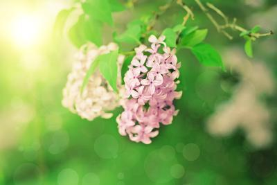 Branch of Lilac Flowers-Roxana_ro-Photographic Print