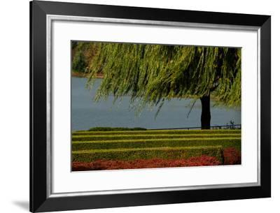 Branches from a Weeping Willow Tree Blow Gently in the Wind Next to Perfectly Groomed Hedges-Paul Damien-Framed Photographic Print