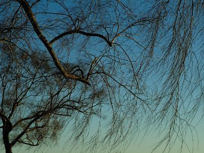 Branches of a Weeping Willow Tree against a Blue Sky-Todd Gipstein-Photographic Print