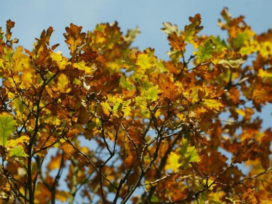 Branches of an Oak Tree with Its Leaves Turning Golden at Kenilworth Castle in Warwickshire--Photographic Print