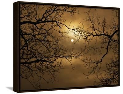 Branches Surrounding Harvest Moon-Robert Llewellyn-Framed Canvas Print