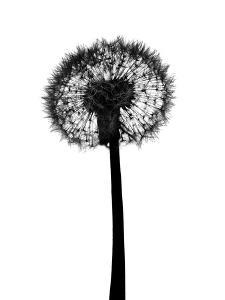 Silhouette of Dandelion by Brand New Images
