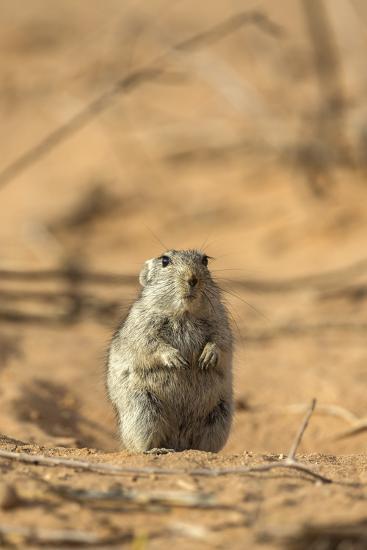 Brant's Whistling Rat (Parotomys Brantsii) in the Kalahari, Northern Cape, Africa-Ann & Steve Toon-Photographic Print