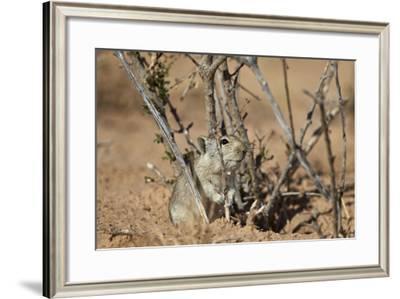 Brant's Whistling Rat (Parotomys Brantsii)-James Hager-Framed Photographic Print
