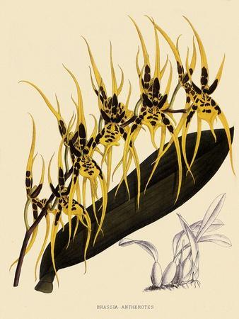 https://imgc.artprintimages.com/img/print/brassia-antherotes_u-l-q1bvl950.jpg?p=0