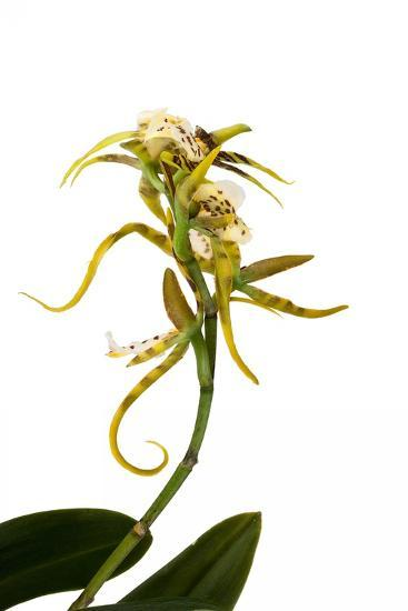 Brassia Eternal Wind-Fabio Petroni-Photographic Print
