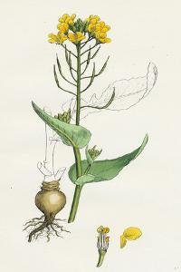 Brassica Rapa Common Turnip