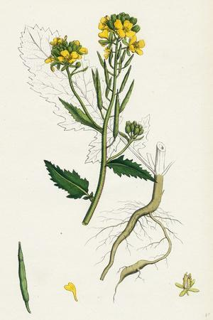 https://imgc.artprintimages.com/img/print/brassica-sinapistrum-wild-mustard_u-l-pvftu10.jpg?p=0