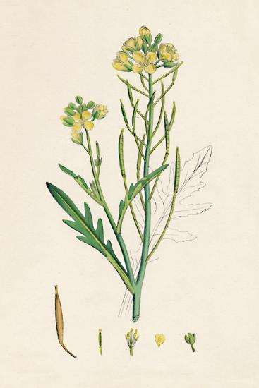 'Brassica tenuifolia. Wall rocket', 19th Century-Unknown-Giclee Print