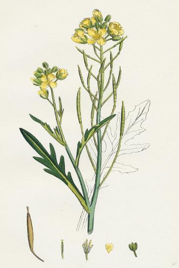 Brassica Tenuifolia Wall Rocket--Giclee Print