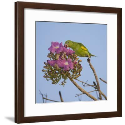 Brazil. A yellow-Chevroned parakeet harvesting the blossoms of a pink trumpet tree in the Pantanal.-Ralph H. Bendjebar-Framed Photographic Print
