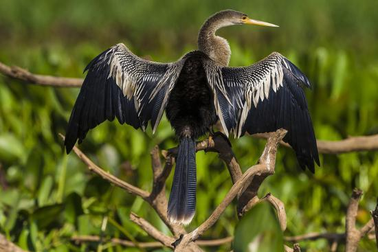 Brazil. An anhinga drying its wings in the sun, found in the Pantanal.-Ralph H^ Bendjebar-Premium Photographic Print