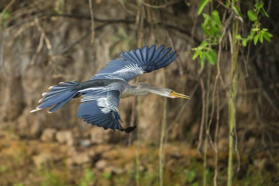 Brazil. An anhinga flying along a river bank in the Pantanal.-Ralph H^ Bendjebar-Premium Photographic Print
