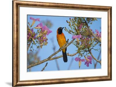Brazil. An orange-backed troupial harvesting the blossoms of a pink trumpet tree in the Pantanal.-Ralph H^ Bendjebar-Framed Premium Photographic Print
