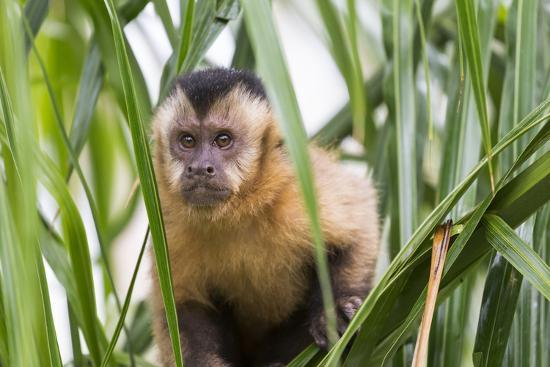 Brazil, Mato Grosso do Sul, Bonito. Portrait of a brown capuchin monkey, Cebus apella.-Ellen Goff-Premium Photographic Print