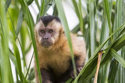 https://imgc.artprintimages.com/img/print/brazil-mato-grosso-do-sul-bonito-portrait-of-a-brown-capuchin-monkey-cebus-apella_u-l-q1cyzak0.jpg?p=0