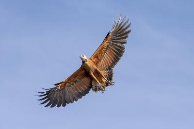 Brazil, Mato Grosso, the Pantanal. Black-Collared Hawk in Flight-Ellen Goff-Photographic Print