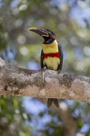 https://imgc.artprintimages.com/img/print/brazil-mato-grosso-the-pantanal-chestnut-eared-aracari-in-a-tree_u-l-q13ajsd0.jpg?p=0