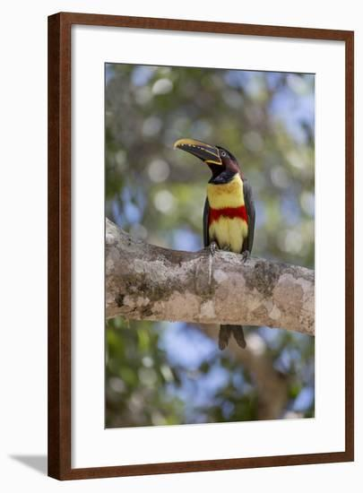 Brazil, Mato Grosso, the Pantanal, Chestnut-Eared Aracari in a Tree-Ellen Goff-Framed Photographic Print