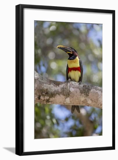 Brazil, Mato Grosso, the Pantanal, Chestnut-Eared Aracari in a Tree-Ellen Goff-Framed Photographic Print