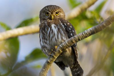 Brazil, Mato Grosso, the Pantanal, Ferruginous Pygmy Owl in a Tree-Ellen Goff-Photographic Print