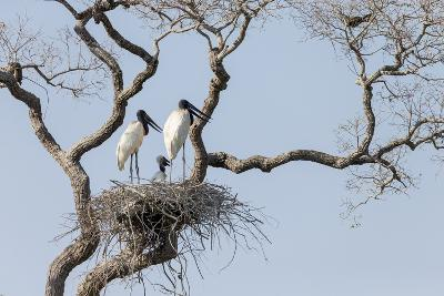 Brazil, Mato Grosso, the Pantanal, Jabiru Mates at the Nest in a Large Tree-Ellen Goff-Photographic Print